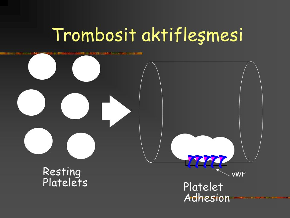 Trombosit aktifleşmesi vWF Resting Platelets Platelet Adhesion
