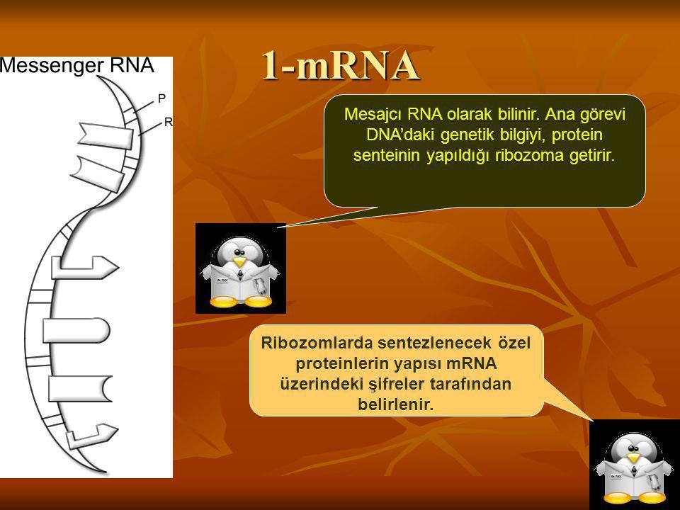 1-mRNA Mesajcı RNA olarak bilinir. Ana görevi DNA'daki genetik bilgiyi, protein senteinin yapıldığı ribozoma getirir. Ribozomlarda sentezlenecek özel
