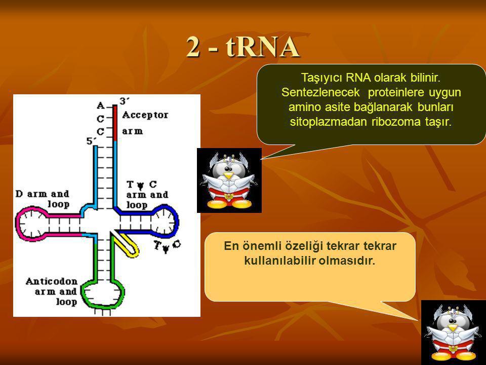 2 - tRNA Taşıyıcı RNA olarak bilinir. Sentezlenecek proteinlere uygun amino asite bağlanarak bunları sitoplazmadan ribozoma taşır. En önemli özeliği t