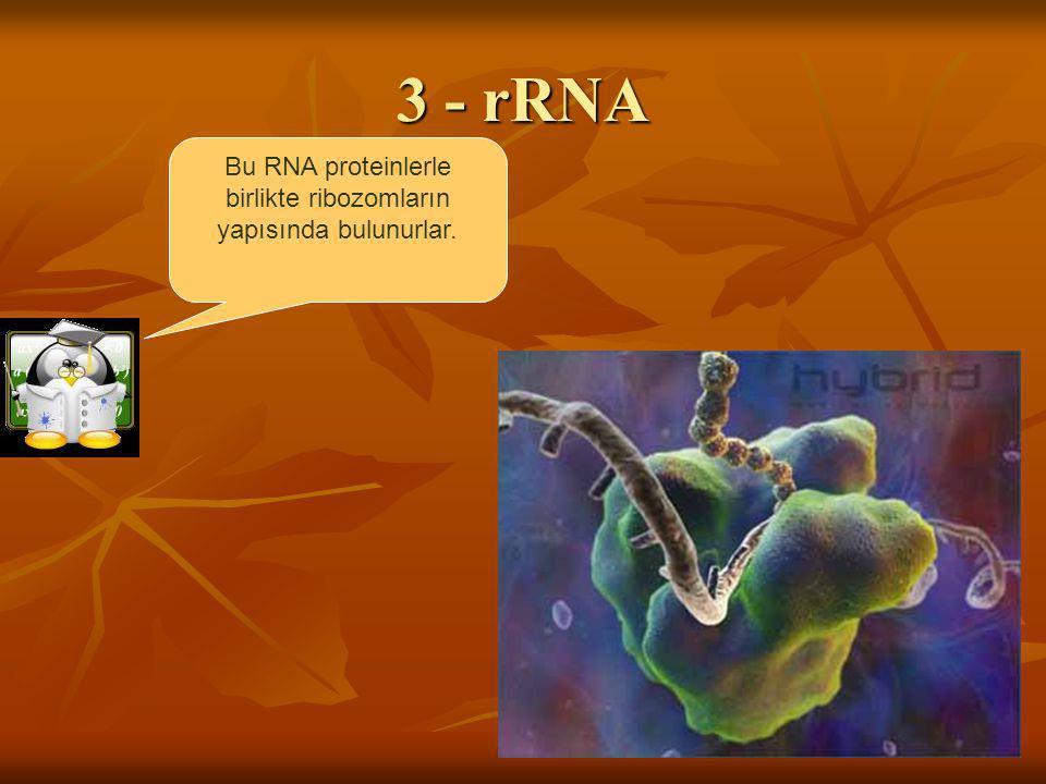 3 - rRNA Bu RNA proteinlerle birlikte ribozomların yapısında bulunurlar.