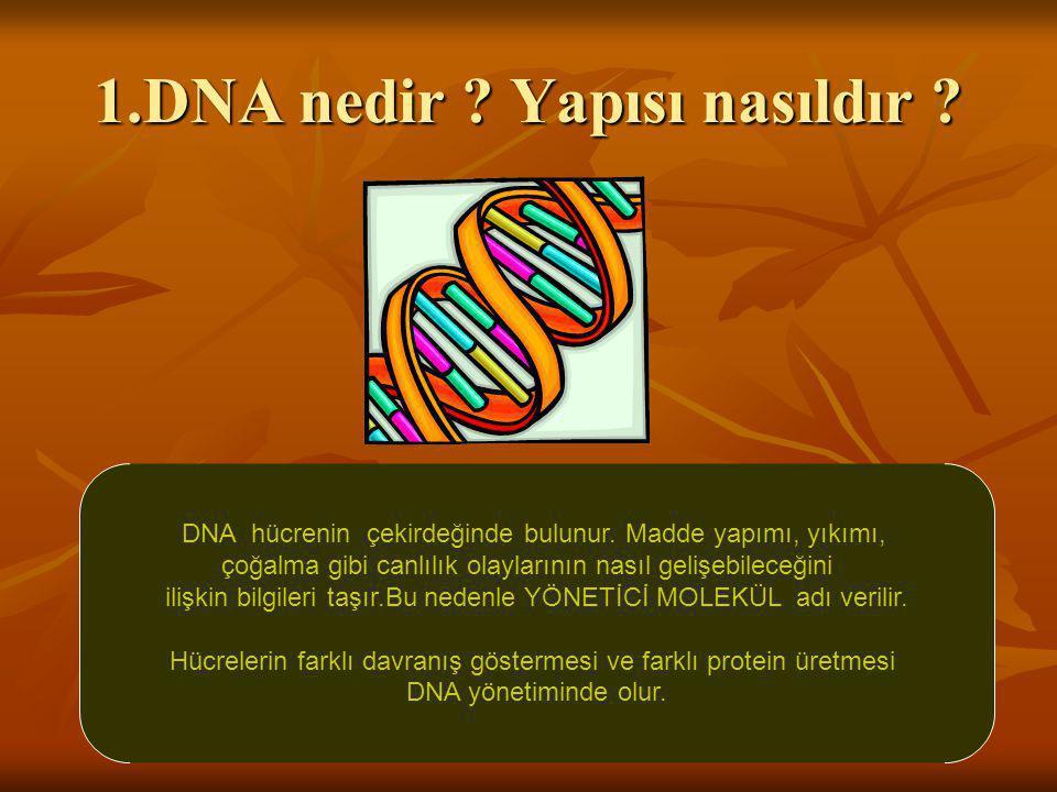 1.DNA nedir ? Yapısı nasıldır ? DNA hücrenin çekirdeğinde bulunur. Madde yapımı, yıkımı, çoğalma gibi canlılık olaylarının nasıl gelişebileceğini iliş