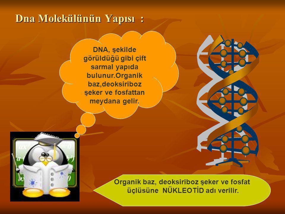 Dna Molekülünün Yapısı : DNA, şekilde görüldüğü gibi çift sarmal yapıda bulunur.Organik baz,deoksiriboz şeker ve fosfattan meydana gelir. Organik baz,