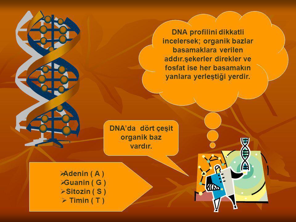 DNA profilini dikkatli incelersek; organik bazlar basamaklara verilen addır.şekerler direkler ve fosfat ise her basamakın yanlara yerleştiği yerdir. D