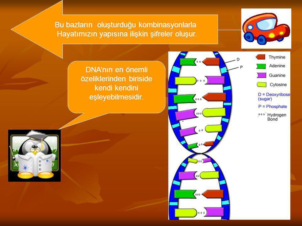 Bu bazların oluşturduğu kombinasyonlarla Hayatımızın yapısına ilişkin şifreler oluşur. DNA'nın en önemli özeliklerinden biriside kendi kendini eşleyeb