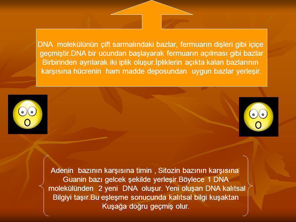 DNA molekülü kendini eşleyerek hücre Çoğalmasını ve kalıtsal özeliklerin yeni hücrelere geçmesini sağlamaya Görevlidir.