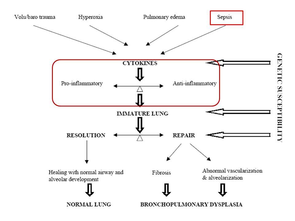 Mekanik ventilasyon başlanan bebeklerde; Havayollarına nötrofil akımı Dolaşan nötrofil sayısında azalma Pulmoner ödem BPD Speer CP.