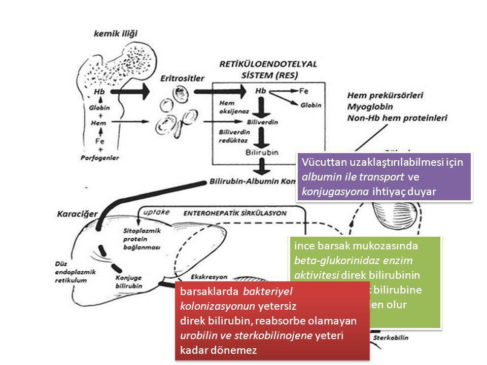 Vücuttan uzaklaştırılabilmesi için albumin ile transport ve konjugasyona ihtiyaç duyar ince barsak mukozasında beta-glukorinidaz enzim aktivitesi dire
