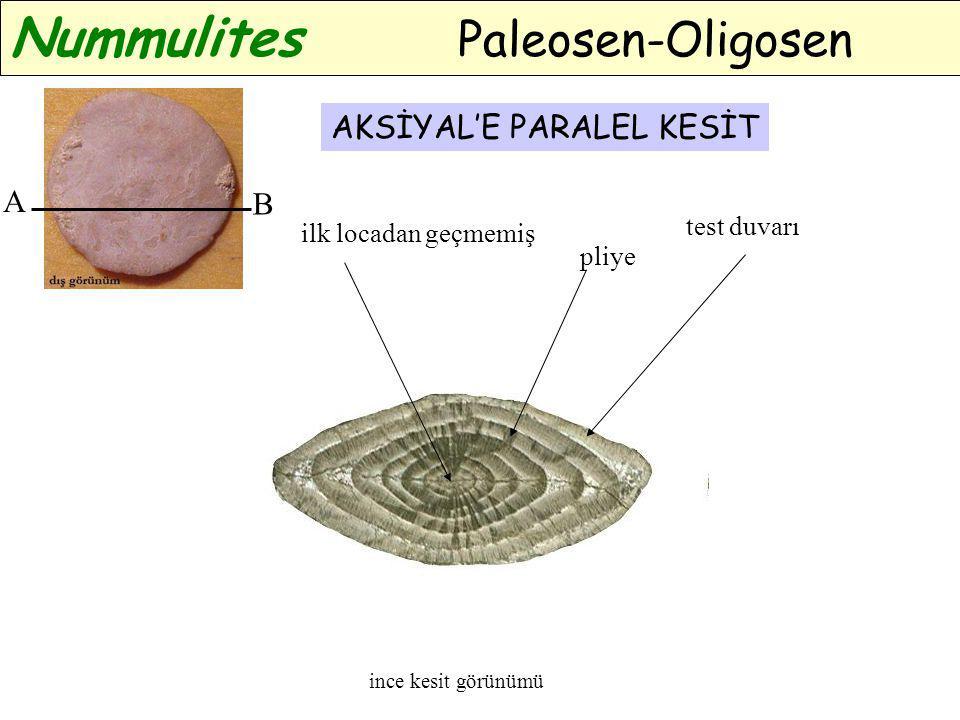 A B ince kesit görünümü AKSİYAL'E PARALEL KESİT Nummulites Paleosen-Oligosen ilk locadan geçmemiş test duvarı pliye