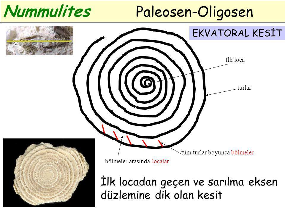EKVATORAL KESİT Nummulites Paleosen-Oligosen İlk loca turlar tüm turlar boyunca bölmeler bölmeler arasında localar EKVATORAL KESİT İlk locadan geçen v