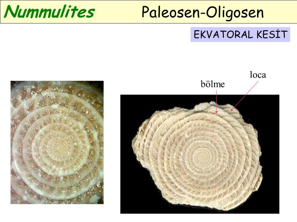 EKVATORAL KESİT bölme loca Nummulites Paleosen-Oligosen