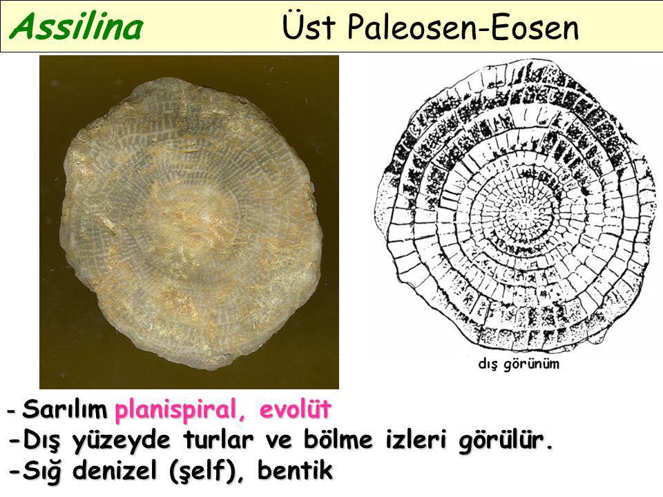 Assilina Üst Paleosen-Eosen - Sarılım planispiral, evolüt -Dış yüzeyde turlar ve bölme izleri görülür. -Sığ denizel (şelf), bentik