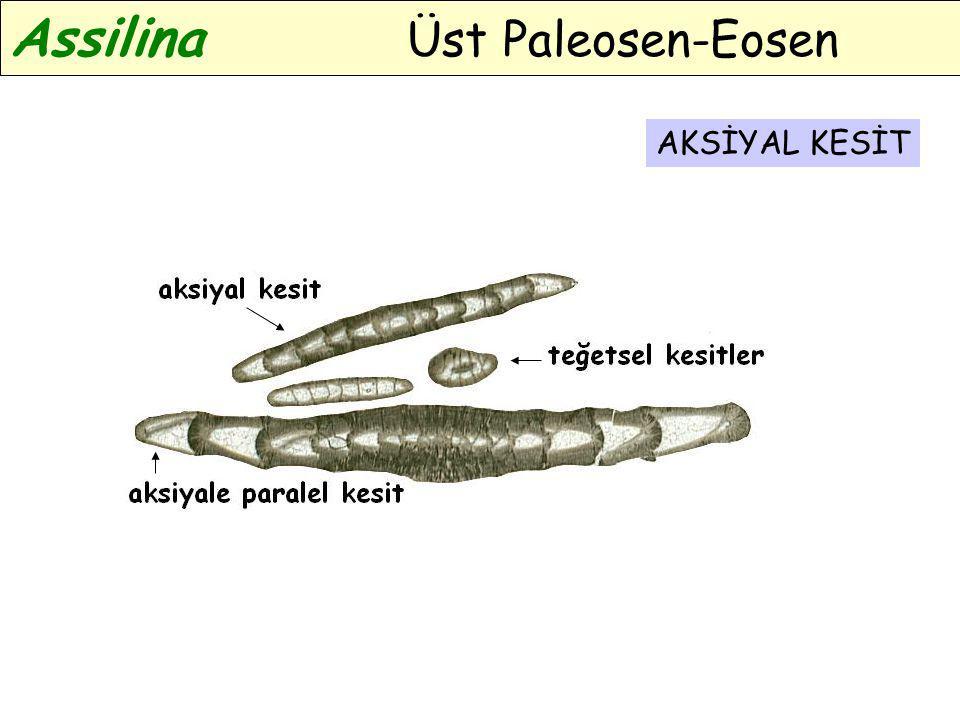 AKSİYAL KESİT Assilina Üst Paleosen-Eosen