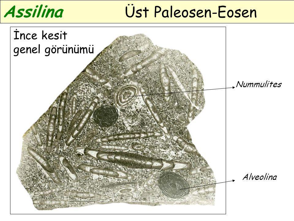 İnce kesit genel görünümü Alveolina Nummulites