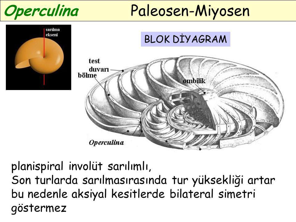 Operculina Paleosen-Miyosen planispiral involüt sarılımlı, Son turlarda sarılmasırasında tur yüksekliği artar bu nedenle aksiyal kesitlerde bilateral