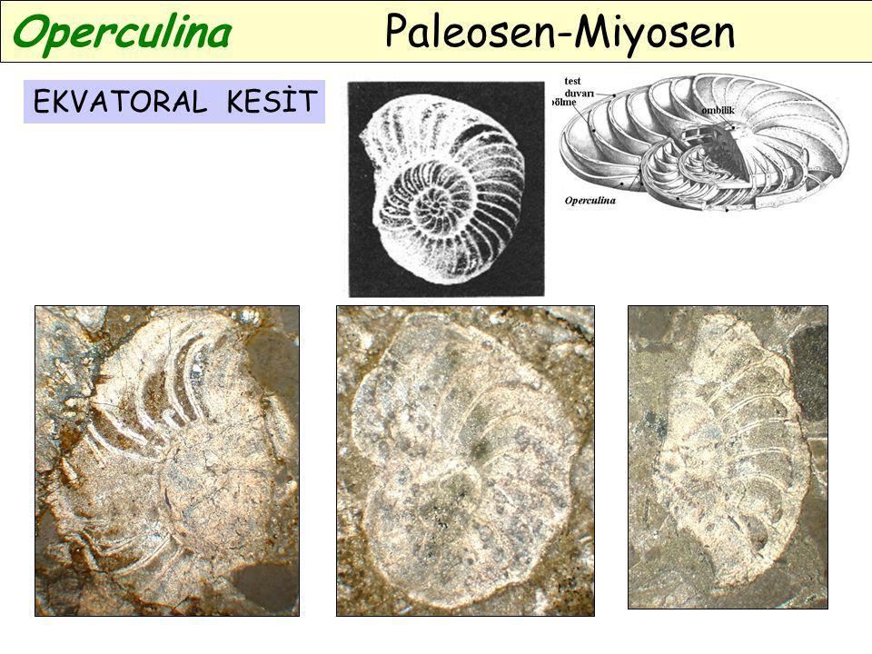 Operculina Paleosen-Miyosen EKVATORAL KESİT