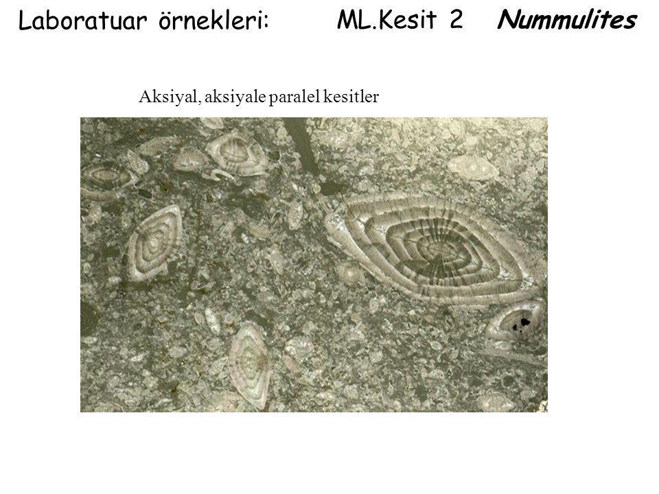 ML.Kesit 2 Nummulites Laboratuar örnekleri: Aksiyal, aksiyale paralel kesitler
