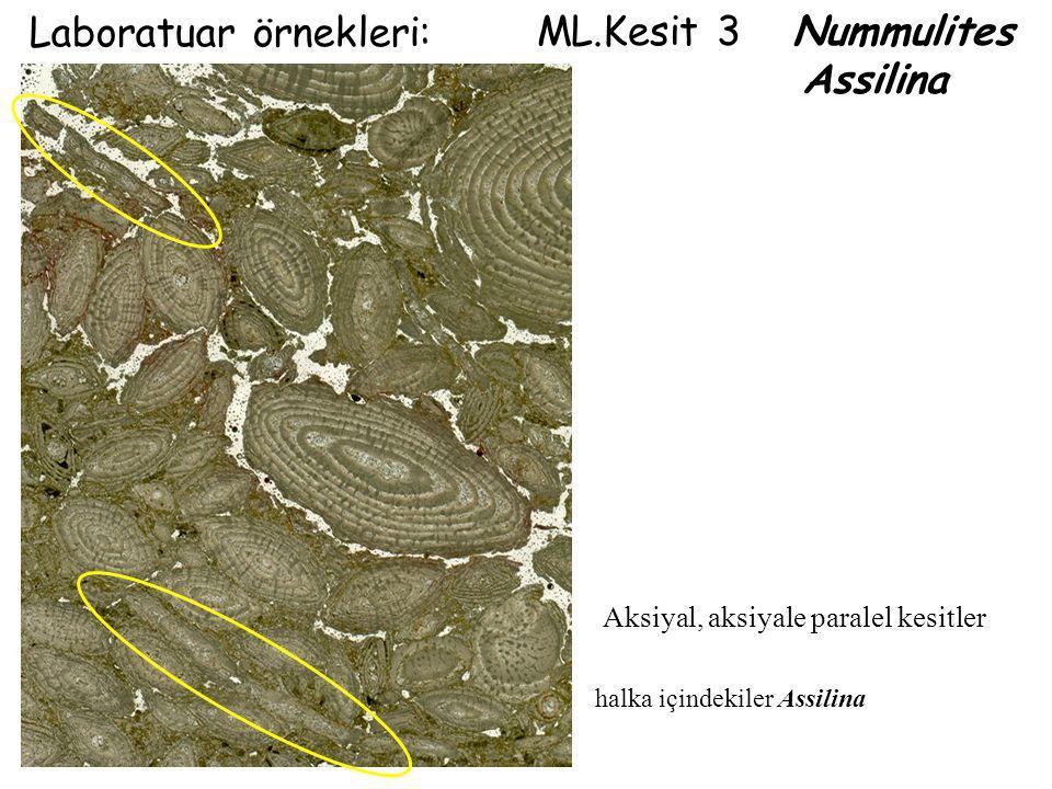 ML.Kesit 3 Nummulites Assilina Laboratuar örnekleri: halka içindekiler Assilina Aksiyal, aksiyale paralel kesitler