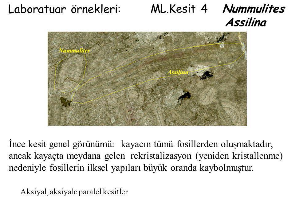 ML.Kesit 4 Nummulites Assilina Laboratuar örnekleri: Aksiyal, aksiyale paralel kesitler İnce kesit genel görünümü: kayacın tümü fosillerden oluşmaktad