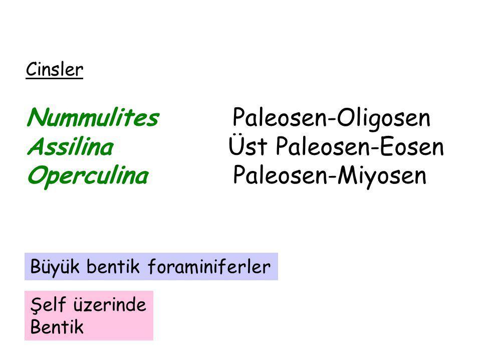 Cinsler Nummulites Paleosen-Oligosen Assilina Üst Paleosen-Eosen Operculina Paleosen-Miyosen Şelf üzerinde Bentik Büyük bentik foraminiferler