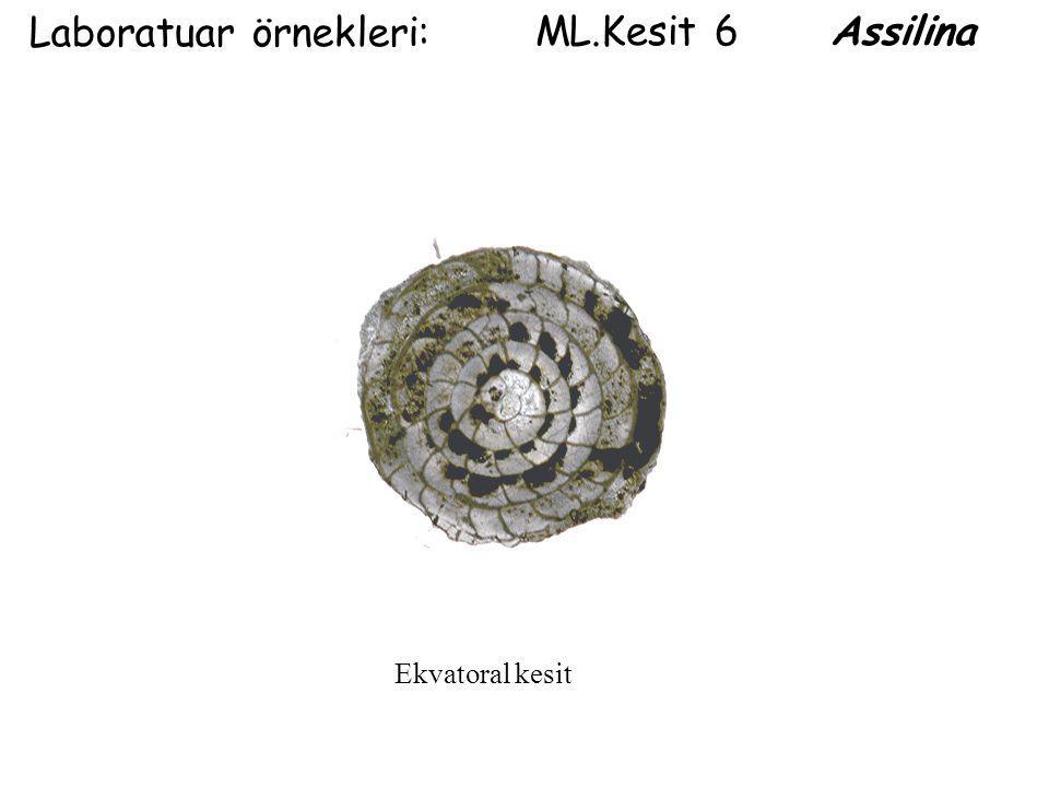 ML.Kesit 6 Assilina Laboratuar örnekleri: Ekvatoral kesit