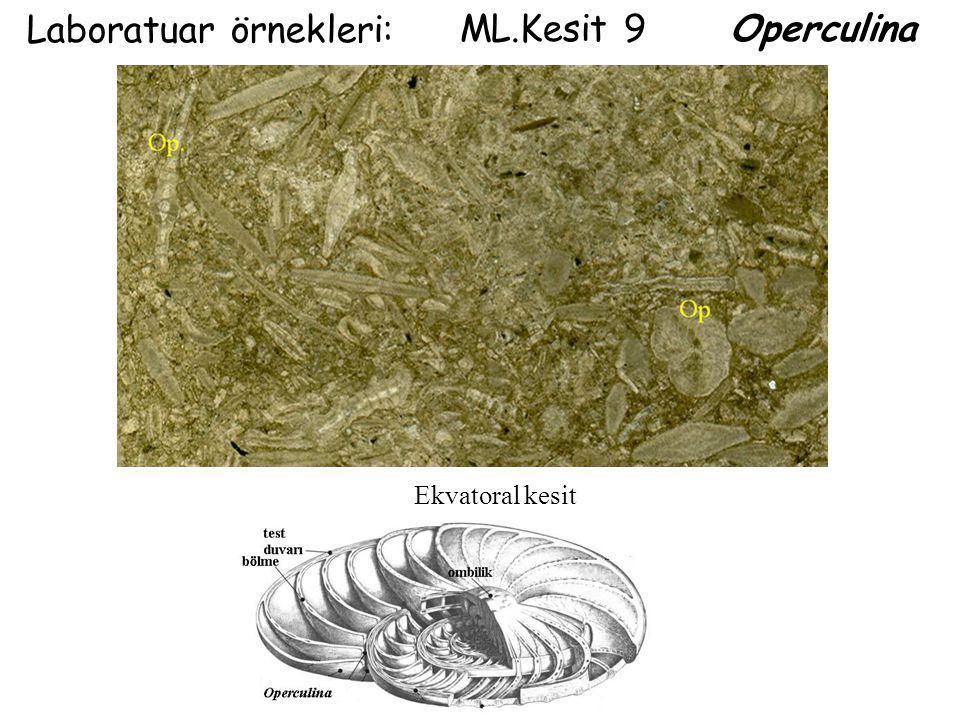 ML.Kesit 9 Operculina Laboratuar örnekleri: Ekvatoral kesit