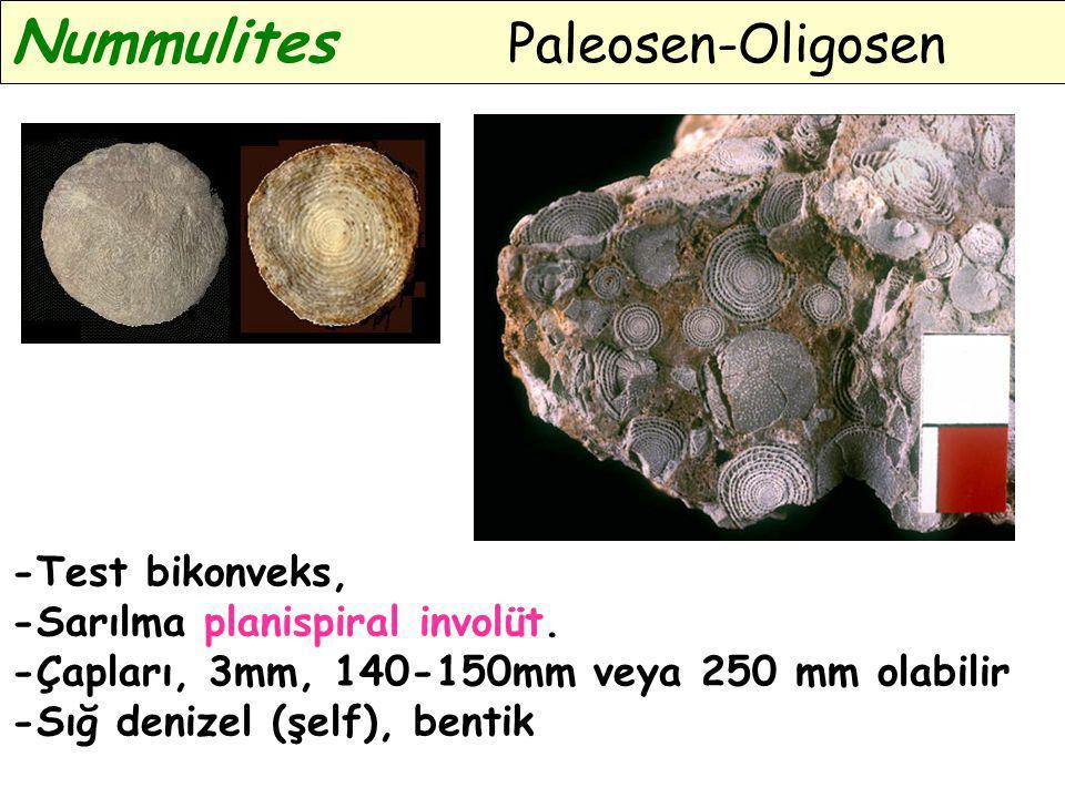 Nummulites Paleosen-Oligosen -Test bikonveks, -Sarılma planispiral involüt. -Çapları, 3mm, 140-150mm veya 250 mm olabilir -Sığ denizel (şelf), bentik