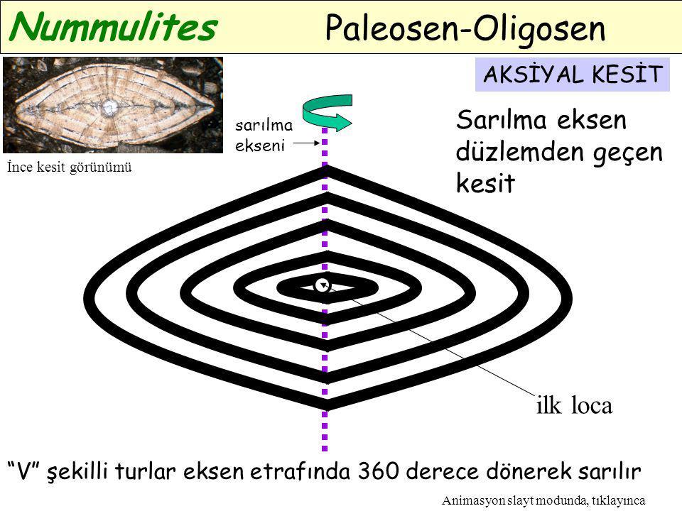 """sarılma ekseni AKSİYAL KESİT """"V"""" şekilli turlar eksen etrafında 360 derece dönerek sarılır Nummulites Paleosen-Oligosen ilk loca Animasyon slayt modun"""