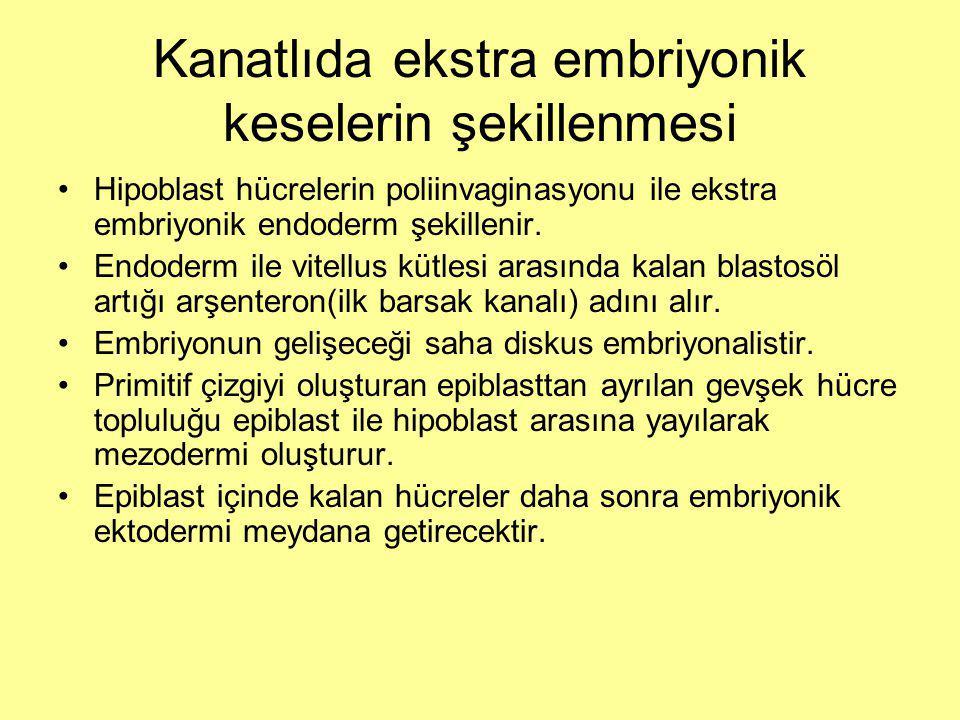 Kanatlıda ekstra embriyonik keselerin şekillenmesi Hipoblast hücrelerin poliinvaginasyonu ile ekstra embriyonik endoderm şekillenir.