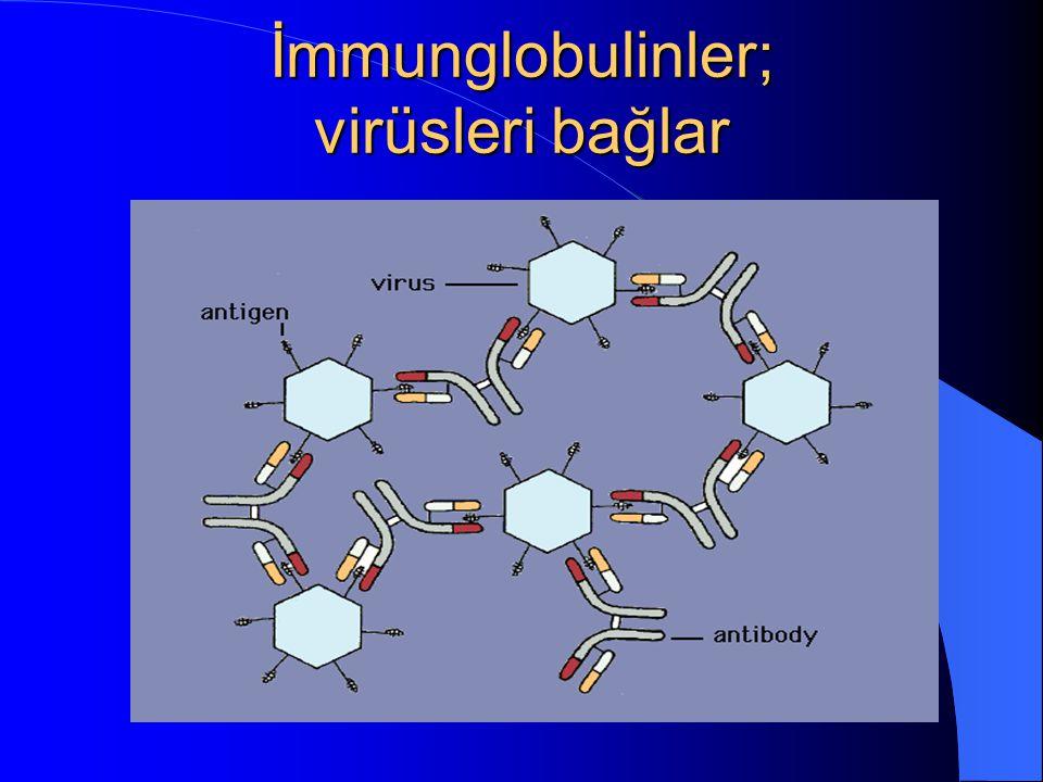 İmmunglobulinler; virüsleri bağlar