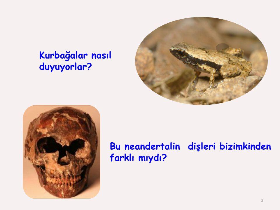 Kurbağalar nasıl duyuyorlar? 3 Bu neandertalin dişleri bizimkinden farklı mıydı?
