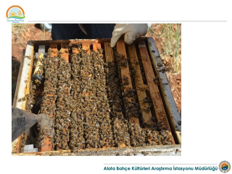 Teşvik Yemlemesine Başlama  Teşvik yemlemesi, koloninin ana nektar akımına bol tarlacı arı kadrosuna sahip olarak girmesini sağlar.