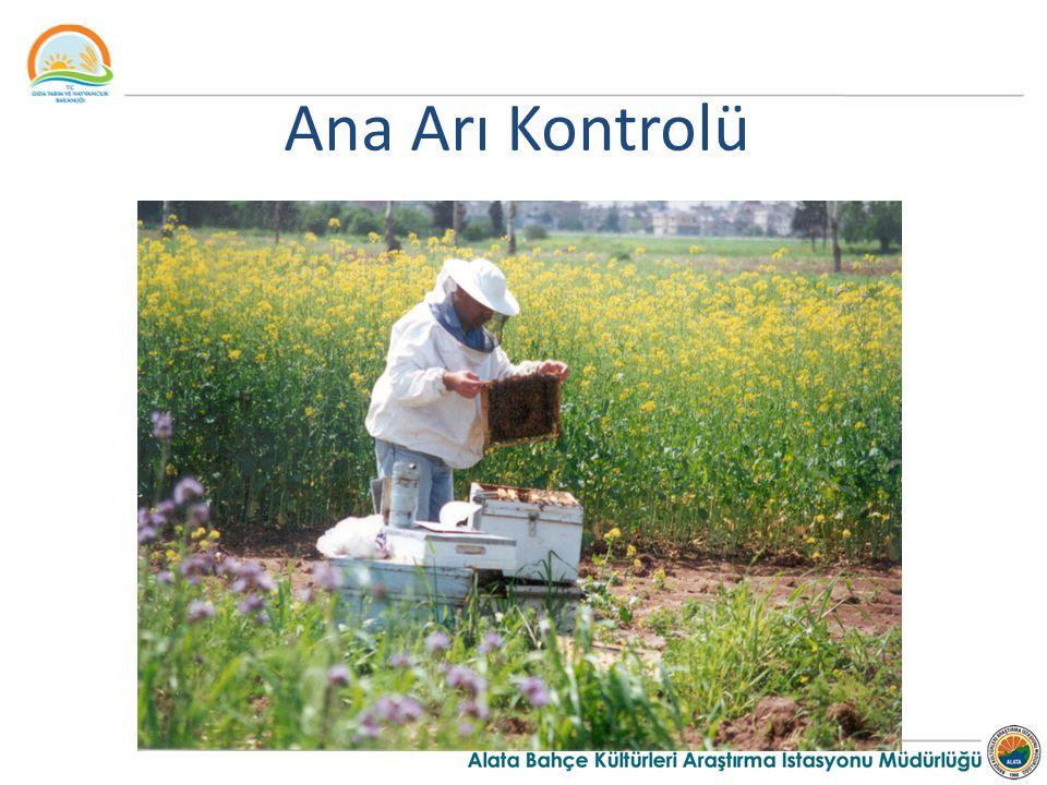 İlkbaharda Yapılacak İşlemler  Ana arının varlığı ve performansı gözlenir.