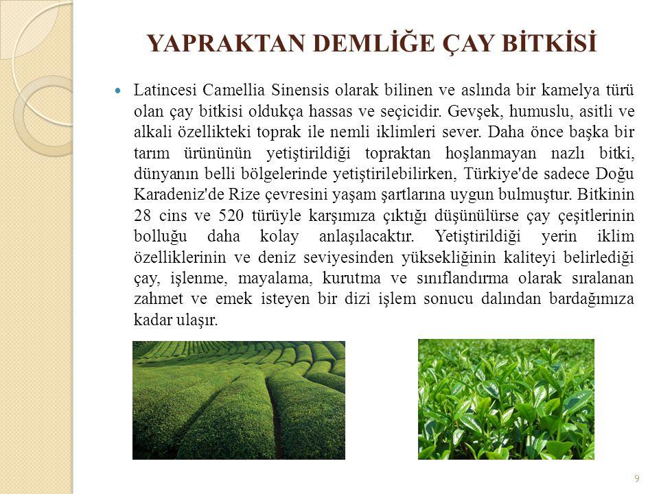 YAPRAKTAN DEMLİĞE ÇAY BİTKİSİ Latincesi Camellia Sinensis olarak bilinen ve aslında bir kamelya türü olan çay bitkisi oldukça hassas ve seçicidir. Gev