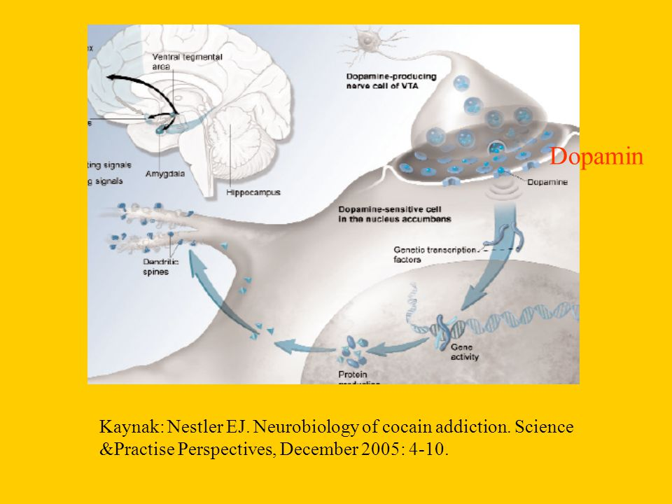 Kaynak: Nestler EJ. Neurobiology of cocain addiction.