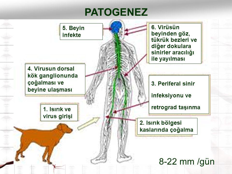 1. Isırık ve virus girişi 2. Isırık bölgesi kaslarında çoğalma 3. Periferal sinir infeksiyonu ve retrograd taşınma 4. Virusun dorsal kök ganglionunda