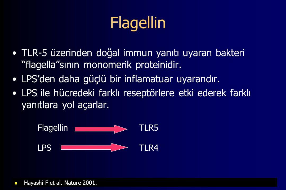 Flagellin TLR-5 üzerinden doğal immun yanıtı uyaran bakteri flagella sının monomerik proteinidir.