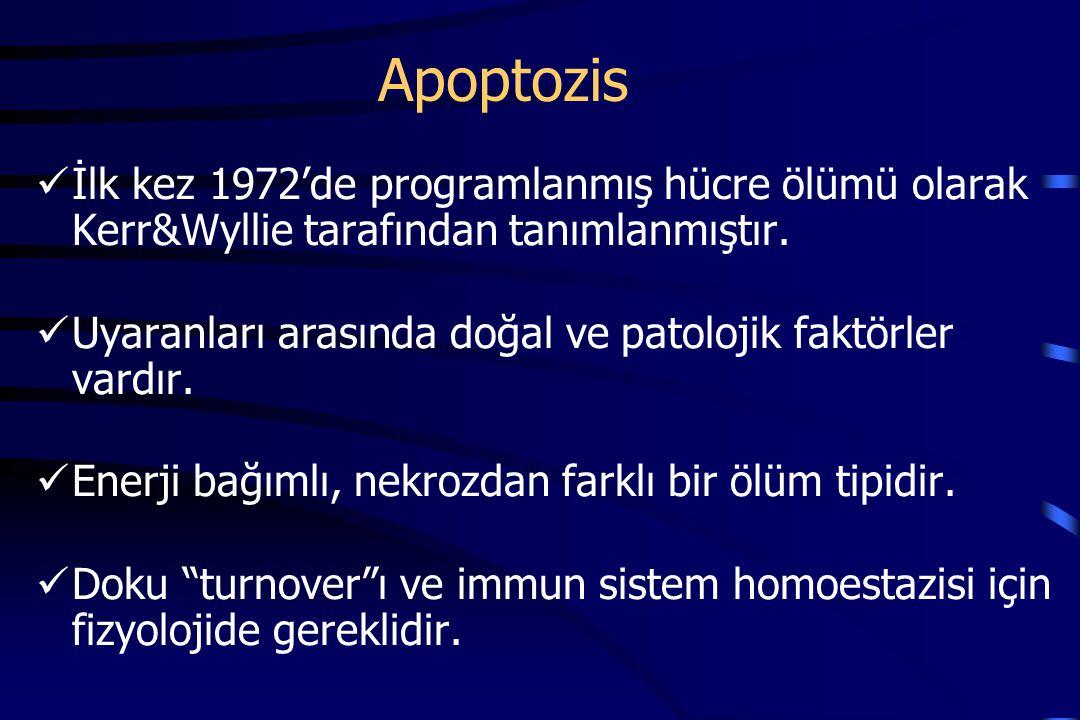 Apoptozis İlk kez 1972'de programlanmış hücre ölümü olarak Kerr&Wyllie tarafından tanımlanmıştır.