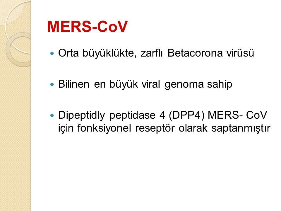 MERS-CoV Orta büyüklükte, zarflı Betacorona virüsü Bilinen en büyük viral genoma sahip Dipeptidly peptidase 4 (DPP4) MERS- CoV için fonksiyonel resept