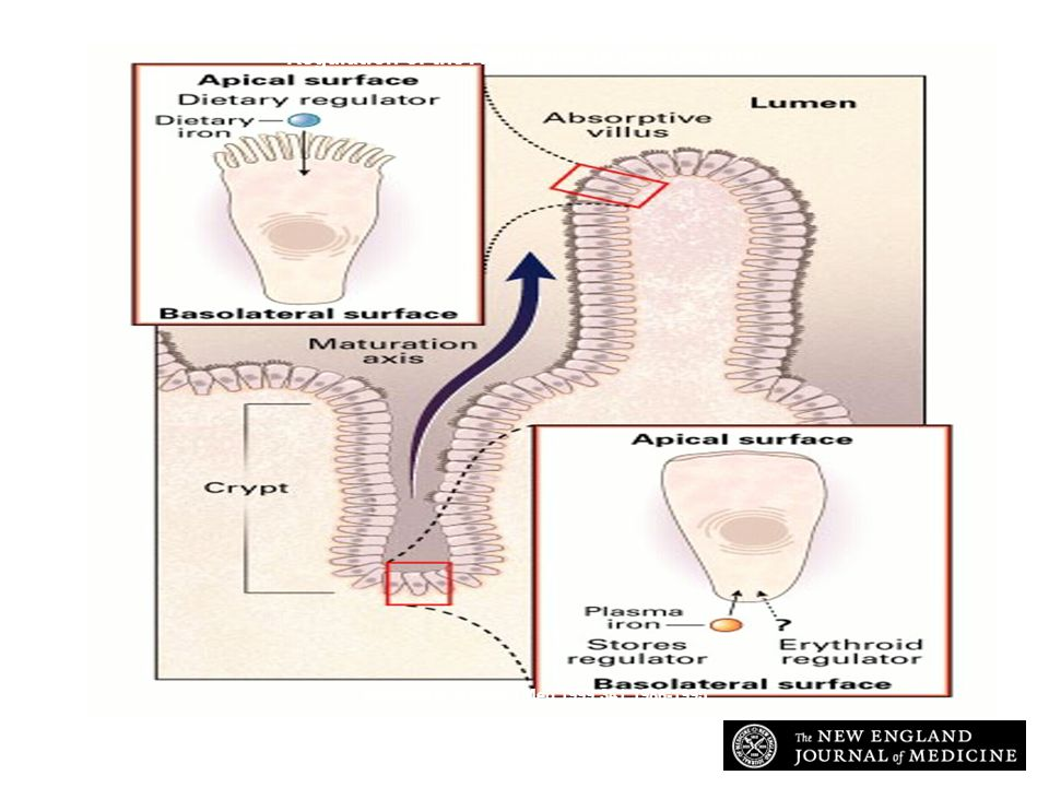 Andrews N. N Engl J Med 1999;341:1986-1995 Regulation of the Absorption of Intestinal Iron