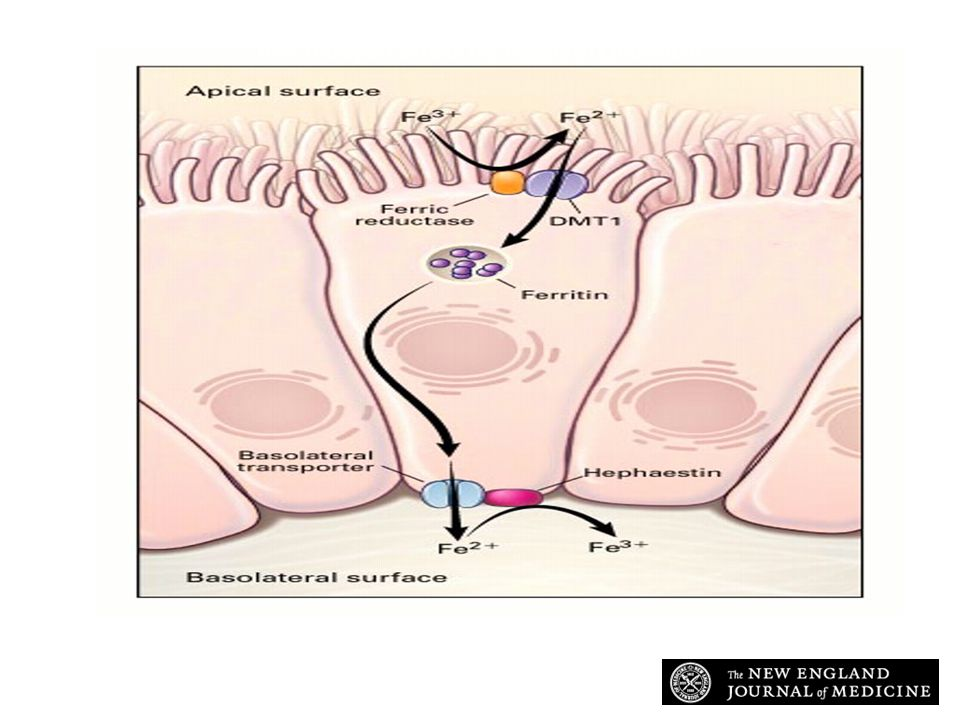 Andrews N. N Engl J Med 1999;341:1986-1995 Iron Transport across the Intestinal Epithelium