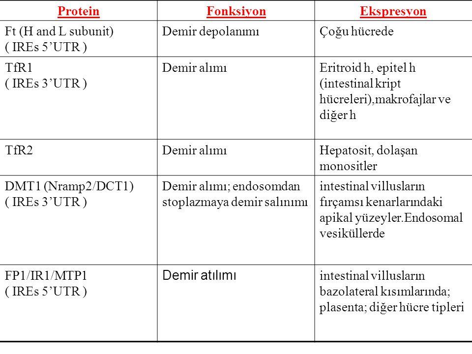 ProteinFonksiyonEkspresyon Ft (H and L subunit) ( IREs 5'UTR ) Demir depolanımıÇoğu hücrede TfR1 ( IREs 3'UTR ) Demir alımıEritroid h, epitel h (intes