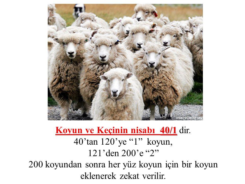 """40/1 Koyun ve Keçinin nisabı 40/1 dir. 40'tan 120'ye """"1"""" koyun, 121'den 200'e """"2"""" 200 koyundan sonra her yüz koyun için bir koyun eklenerek zekat veri"""