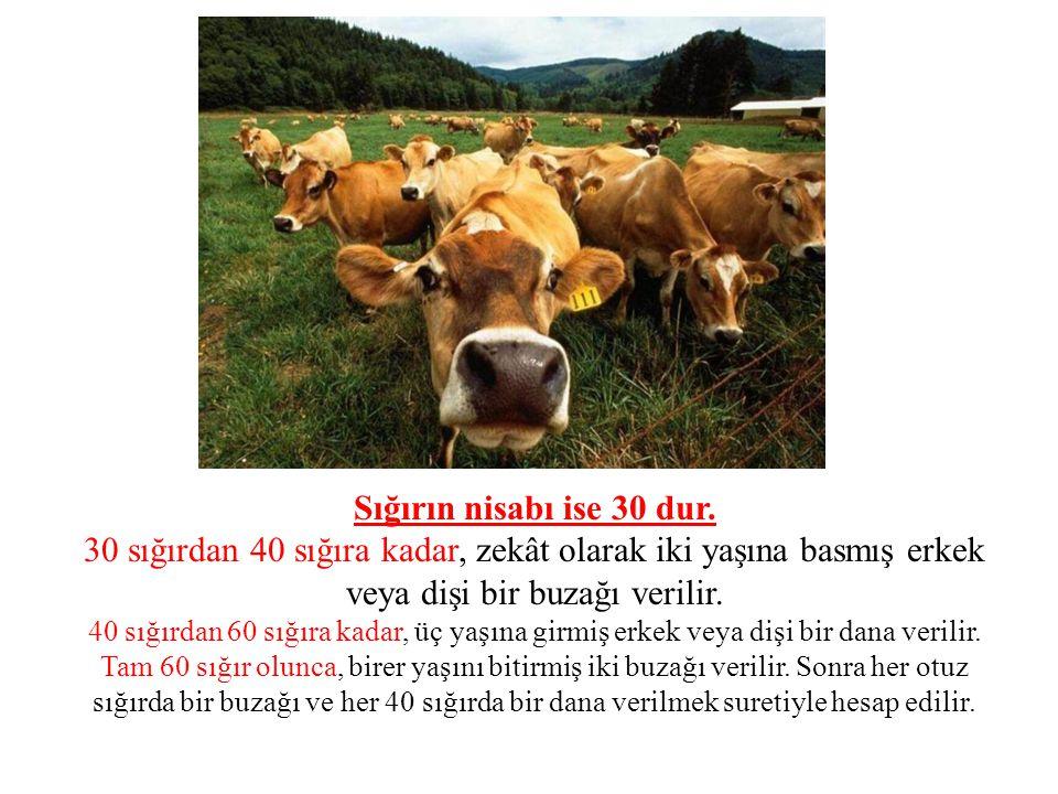 Sığırın nisabı ise 30 dur. 30 sığırdan 40 sığıra kadar, zekât olarak iki yaşına basmış erkek veya dişi bir buzağı verilir. 40 sığırdan 60 sığıra kadar