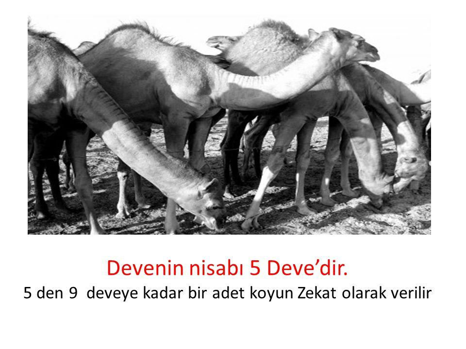 Devenin nisabı 5 Deve'dir. 5 den 9 deveye kadar bir adet koyun Zekat olarak verilir