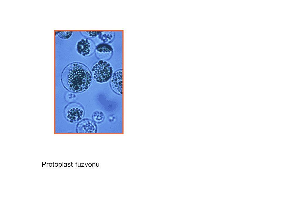 Protoplast fuzyonu