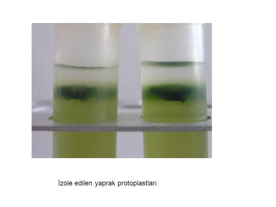 İzole edilen yaprak protoplastları