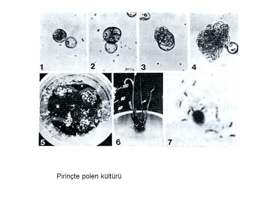 Pirinçte polen kültürü