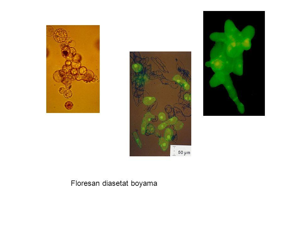 Floresan diasetat boyama