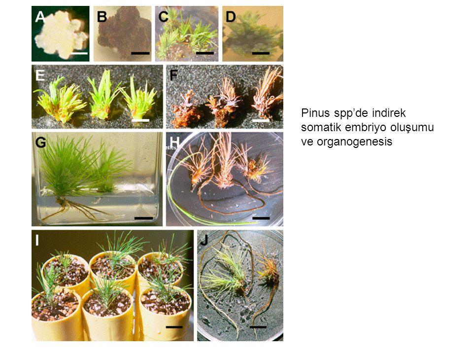 Pinus spp'de indirek somatik embriyo oluşumu ve organogenesis