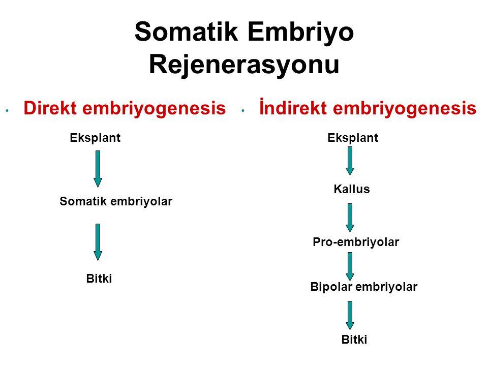 Somatik Embriyo Rejenerasyonu Direkt embriyogenesis Eksplant İndirekt embriyogenesis Eksplant Somatik embriyolar Bitki Kallus Pro-embriyolar Bipolar embriyolar Bitki